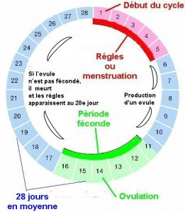 jour ovulation cycle
