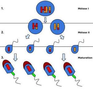 nombre de spermatozoide produit par jour