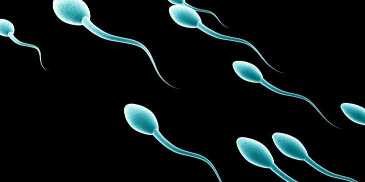 spermatozoïdes male
